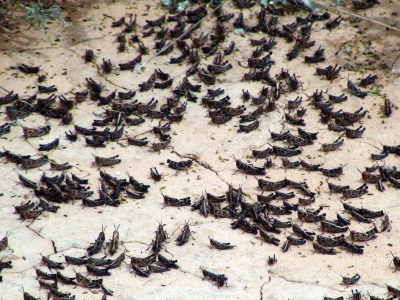 Swarms of grasshoppers have stripped paddocks bare in western Queensland.